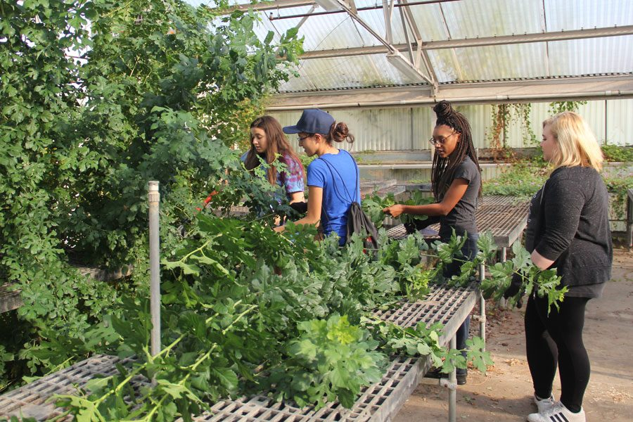 In+September%2C+students+remove+overgrown+vines+during+the+greenhouse+restoration.++The+project+coordinated+student+organizations%2C+individuals+and+local+community+groups.